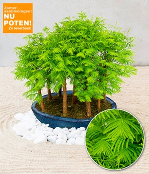 Mini-Forest 'Metasequoia'