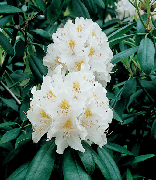 Rhododendron wit