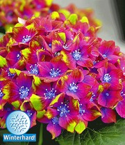 Hortensia 'SAXON®' Schloss Wackerbarth 12 cm-pot