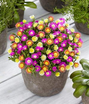 Winterharde ijsbloemen 'Summer Mix'