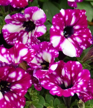 Hang Petunia paars-rode 'RoyalSKY®'