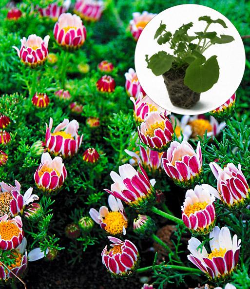 afrikaanse pyrethrum winterharde vaste planten bij baldur nederland. Black Bedroom Furniture Sets. Home Design Ideas