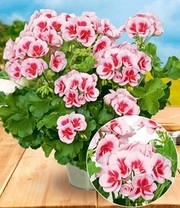 Staande Geranium 'Smokey Eye White®'