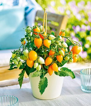Lage pottomaten Funnyplums® 'Golden Orange' F1