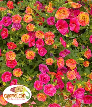 Calibrachoa 'Chameleon Double-Pink-Yellow'