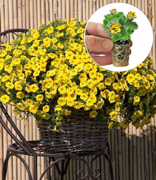 Calibrachoa mix: 'Pretty Summer' geel