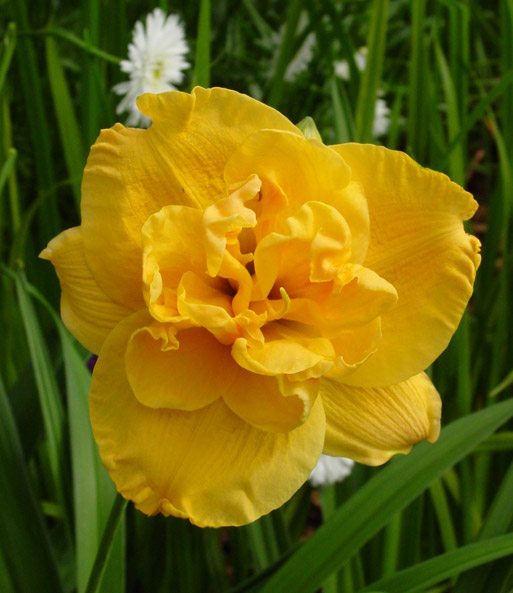 Daglelie 'Double Yellow'