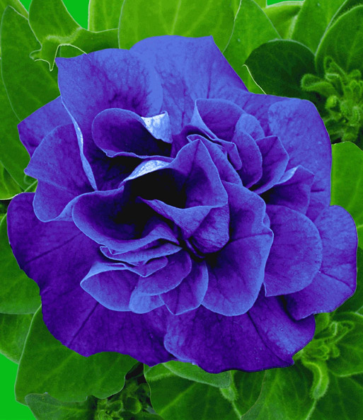 Hangpetunia 'Sweet Sunshine®' Darkblue