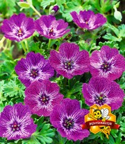 Winterharde Geranium 'Jolly Jewel Lilac®