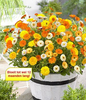 Winterharde Calendula-Mix 'Winter Wonders®'