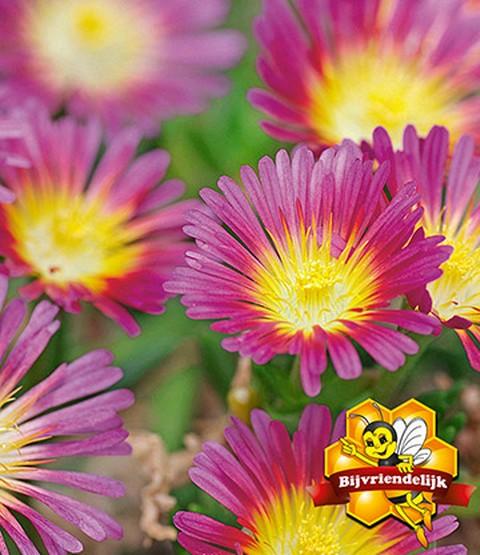 winterharde ijsbloemen 39 hot pink wo laag groeiende planten bij baldur nederland. Black Bedroom Furniture Sets. Home Design Ideas