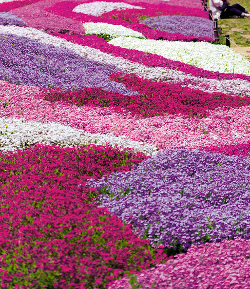 Phlox Mix 'Flowers of the Sea'