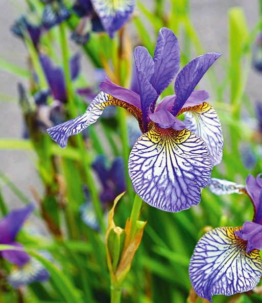 Iris 'Shakers Prayer'