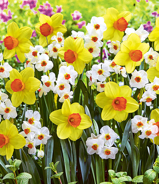 Narcissenmix 'So sweet®'