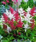 Astilbe-Mix 'Rood & Wit'