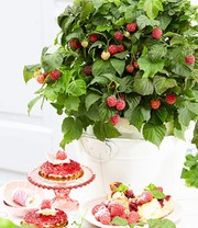 Pot Framboos 'BonBonBerry® YUMMY'