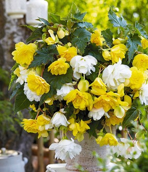 Hangbegonia mix 'The bright day'