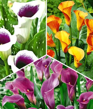 Calla collectie