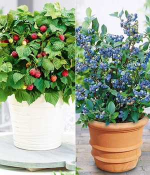 Pot Bosbes 'Blue Parfait®' & pot framboos 'Ruby Beauty®'