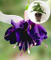Fuchsia 'Deep Purple'