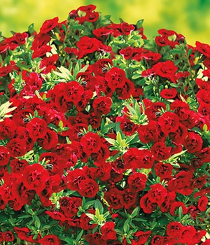 Calibrachoa 'Uno Double Red'