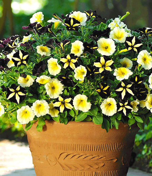 Petunia mix 'Candlelight'