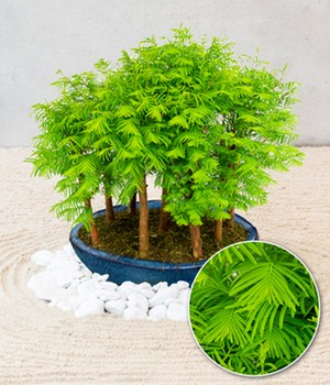 Mini-Forest Chinese mammoetboom 'Metasequoia'