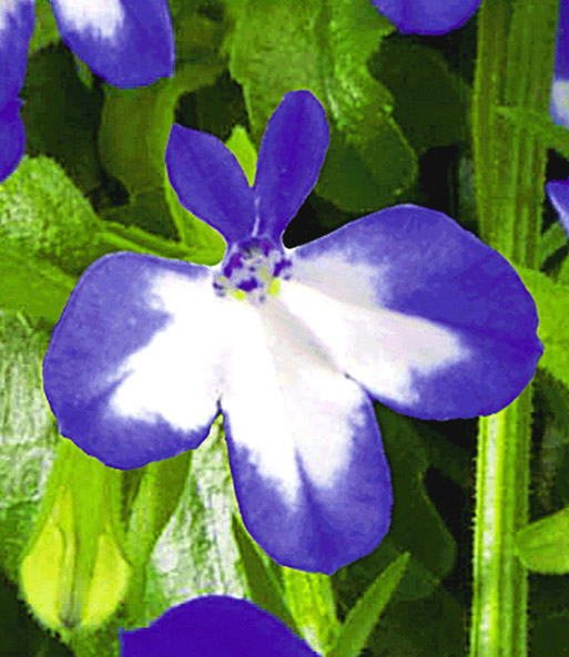 Lobelia 'Superstar®'