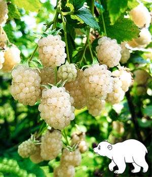 Witte braam 'Polar Berry®'