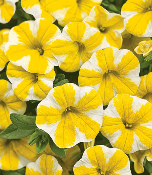 Calibrachoa 'Lemon Slice® & Cherry Star®'