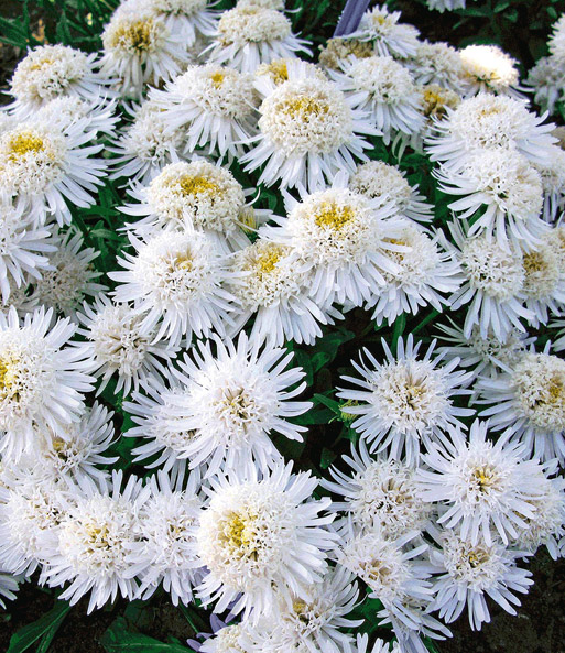 Witte Aster 'X'