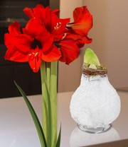 Wax Amaryllis 'Touch of glamour' wit