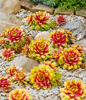 Sempervivum 'Golden Nugget®'