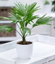 Palm 'Livistona Rotundifolia'