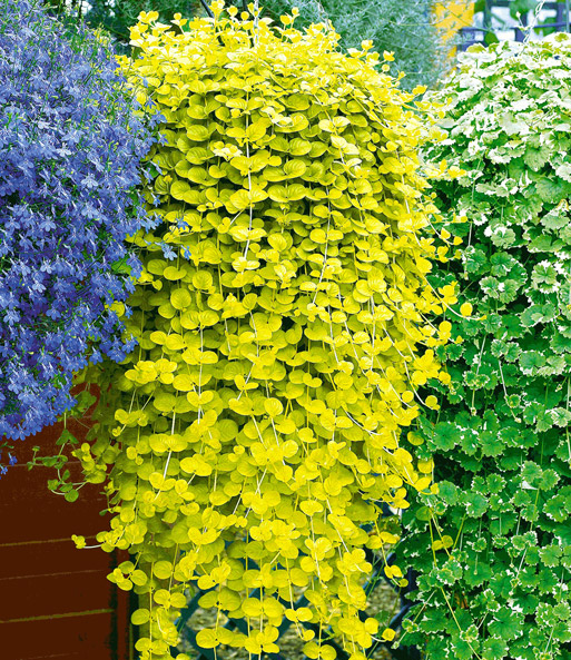 wederik 39 aurea 39 laag groeiende planten bij baldur nederland. Black Bedroom Furniture Sets. Home Design Ideas