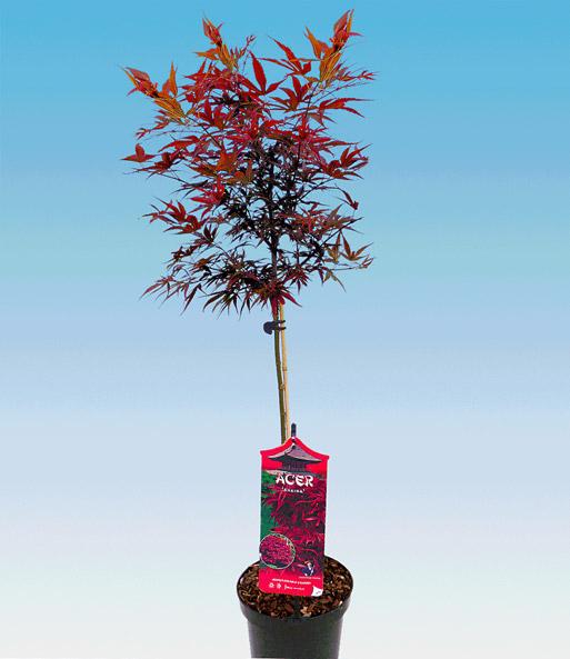 Esdoorn op stam 'rood blad'   Boompjes bij BALDUR- Nederland