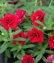 Calibrachoa 'Double Red'