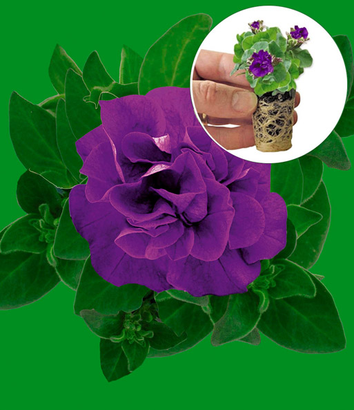 Hangpetunia 'Dark Purple'