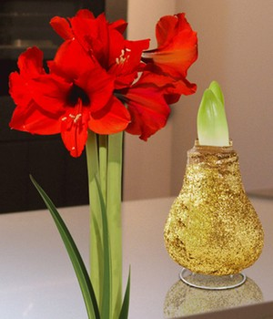 Wax Amaryllis 'Touch of magic' goud
