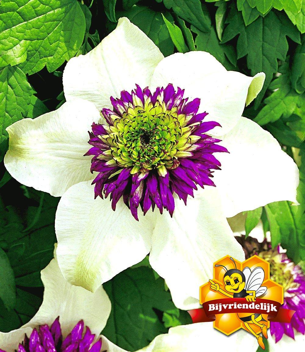 Clematis 39 florida sieboldii 39 klimplanten bij baldur for Clematis florida