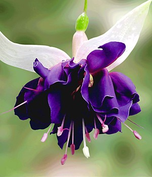 Reuzen Fuchsia 'Deep Purple'
