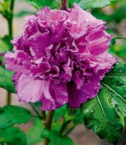 Hibiscus 'French Cabaret' Purple