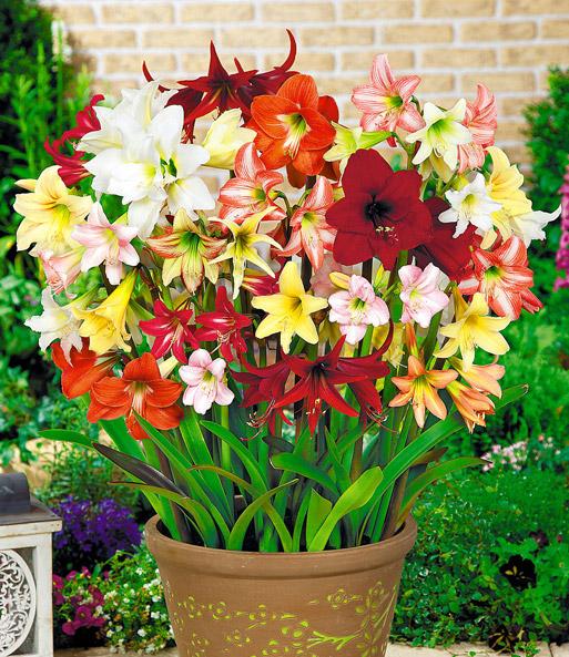winterharte garten amaryllis 39 farbmix 39 3 pflanzen kaufen. Black Bedroom Furniture Sets. Home Design Ideas