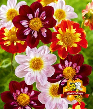 Dahlia mix 'tuin magic'