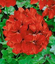 Collectie Hanggeraniums 'Rood & Wit'