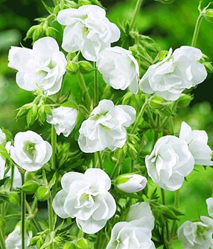 Winterharde geraniums 'White Snow Double®'