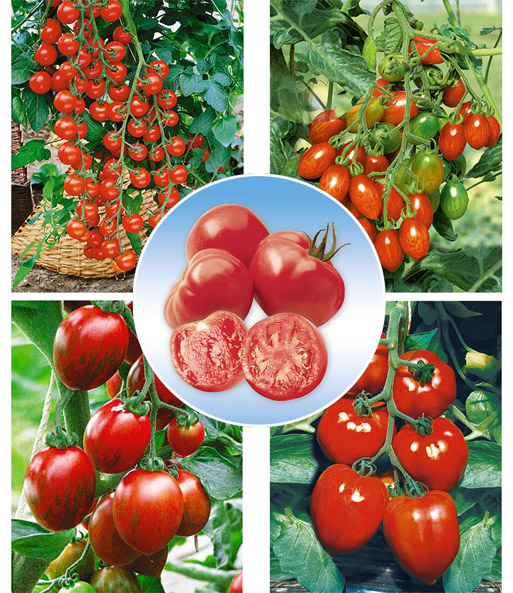Veredelde Tomaten Collectie