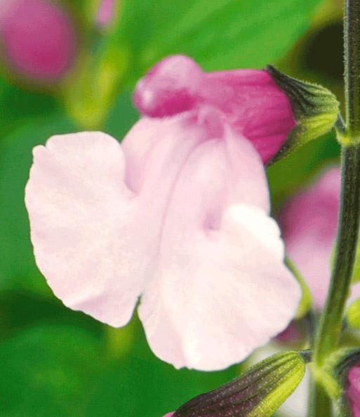Salvia 'Dancing Doll®'