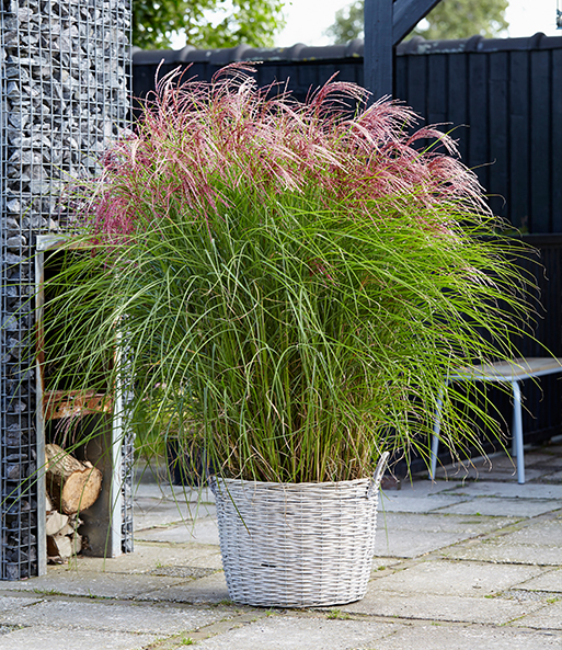 miscanthus red cloud 1a gr ser kaufen baldur garten. Black Bedroom Furniture Sets. Home Design Ideas