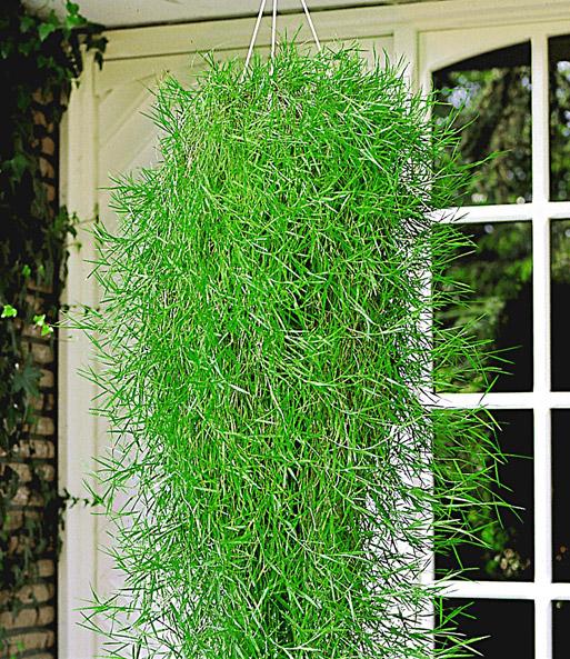 Hangplanten Buiten Winterhard.Hangende Bamboe Green Twist